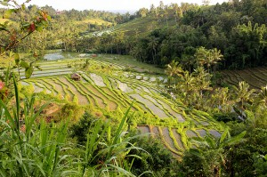 amazing balinese rice fields